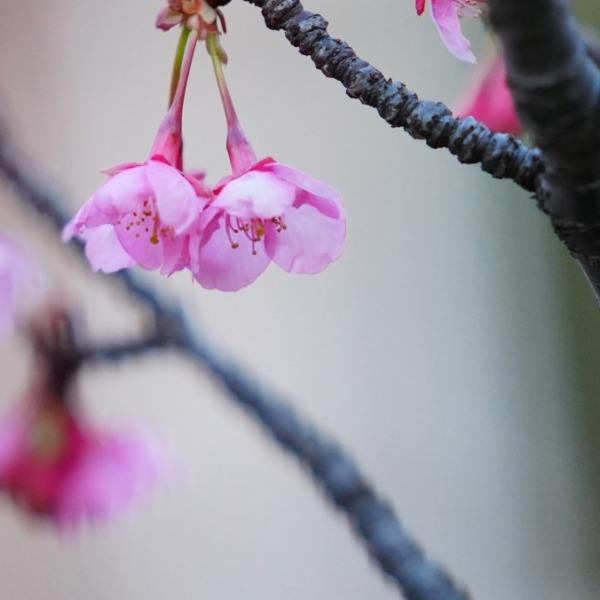河津桜2021咲き始め💖/いつも仲良く