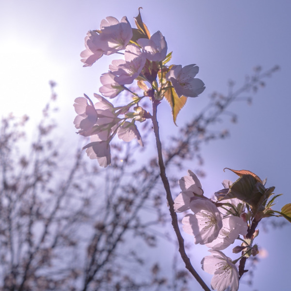 桜・・・儚く