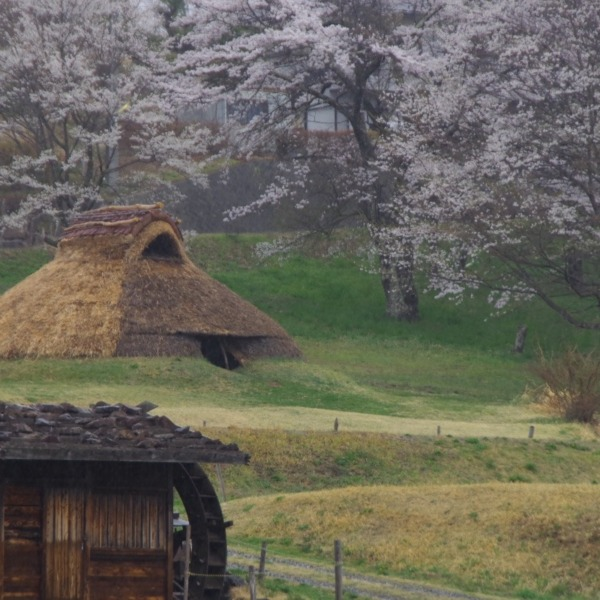 「井戸尻史跡公園の桜」