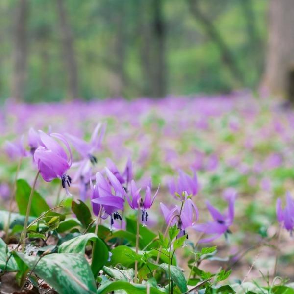 カタクリの花満開