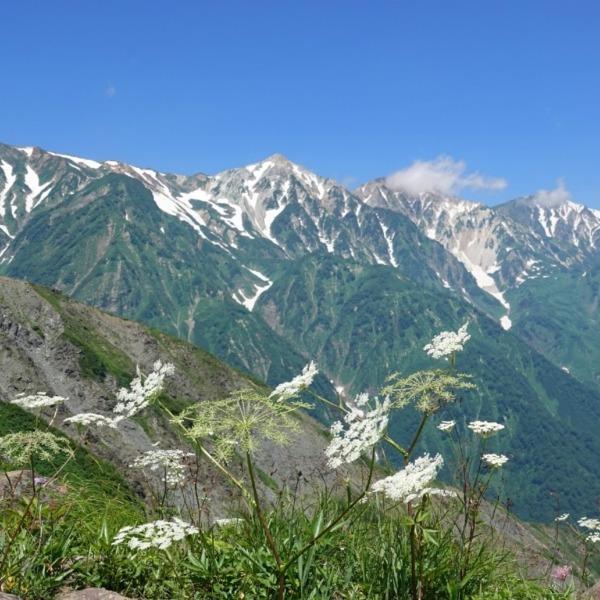 ミヤマシシウドと白馬三山