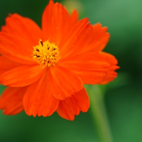 オレンジ色コスモス2020彩💖/浜離宮庭園✨