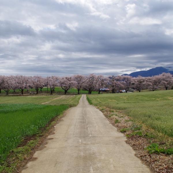 「桜並木に続く道」