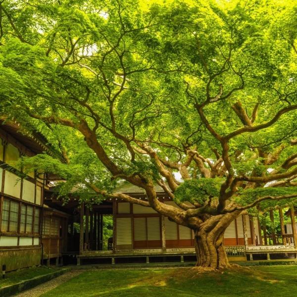 雷山千如寺の大楓