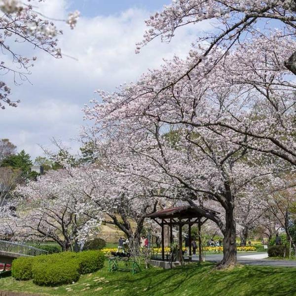 浜松フラワーパークの桜 7