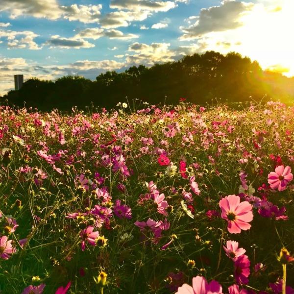 朝日に輝く秋桜