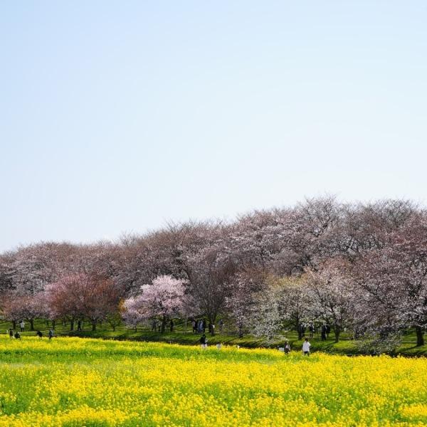 権現堂公園2021💖菜の花・桜コラボ