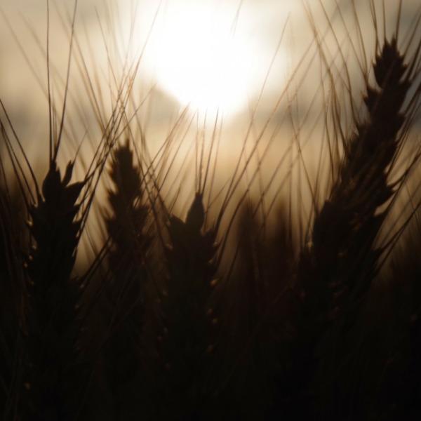 「麦の穂と夕陽」
