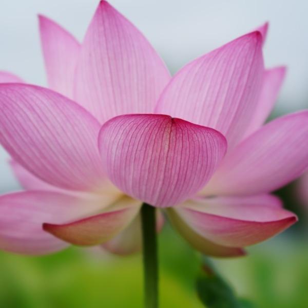 原始蓮2019彩/古代の里:ピンクの漂い