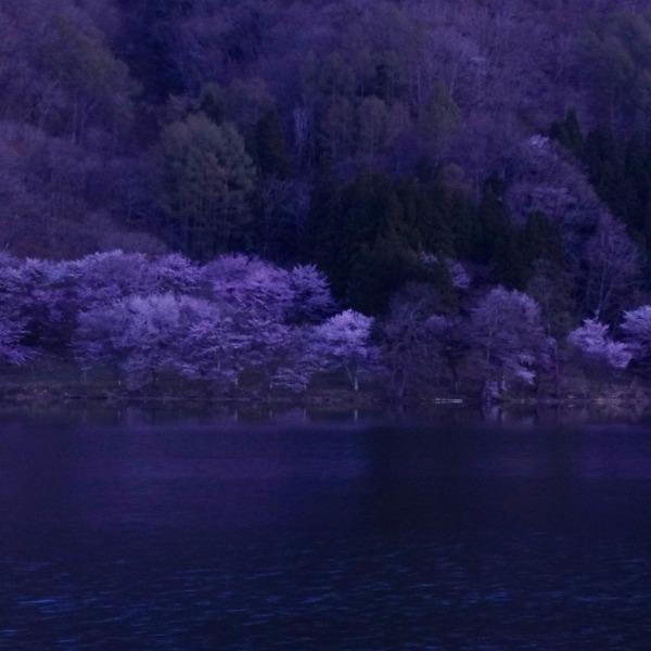 日の出前の中綱湖と桜