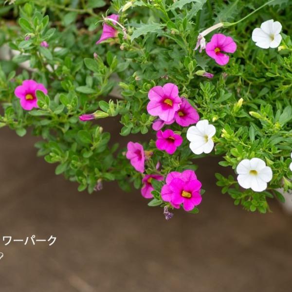 浜松フラワーパーク☆彼岸花