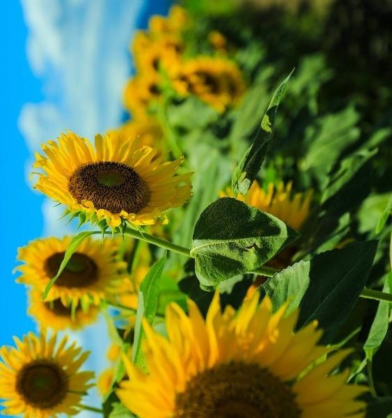 向日葵の絶景