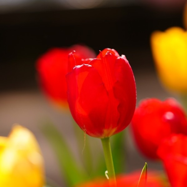 咲いたぁ、咲いたぁ、チューリップの花が✨