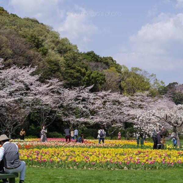 浜松フラワーパークの桜 11