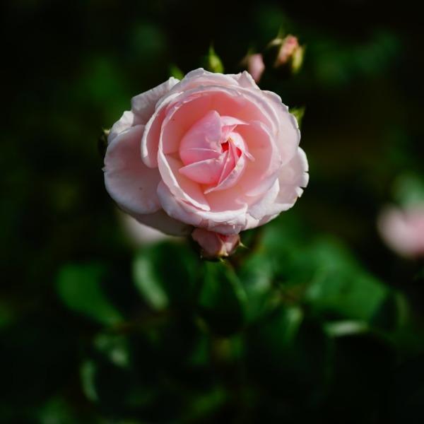 シンデレラ🌹二重奏/旧古河庭園春バラ2019人気3位