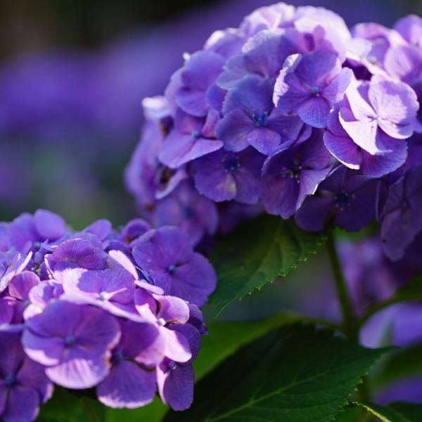 紫陽花2020彩💖:雨が好きなのに✨