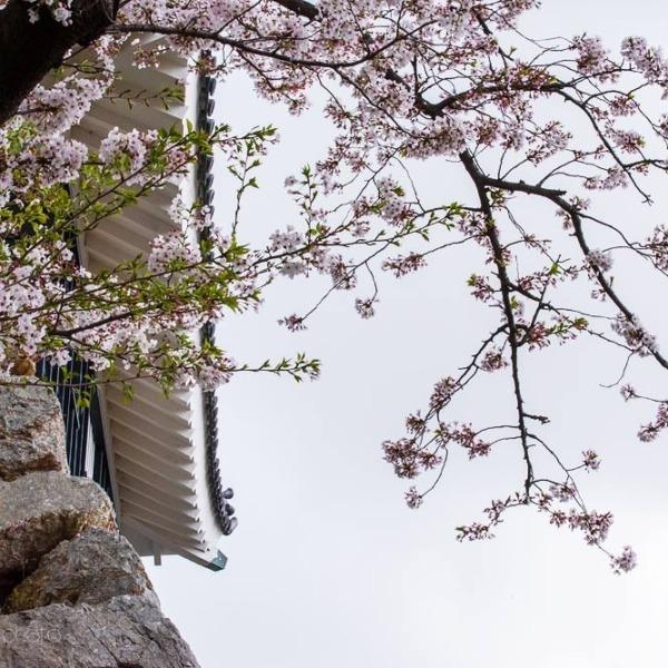 浜松城の桜 5