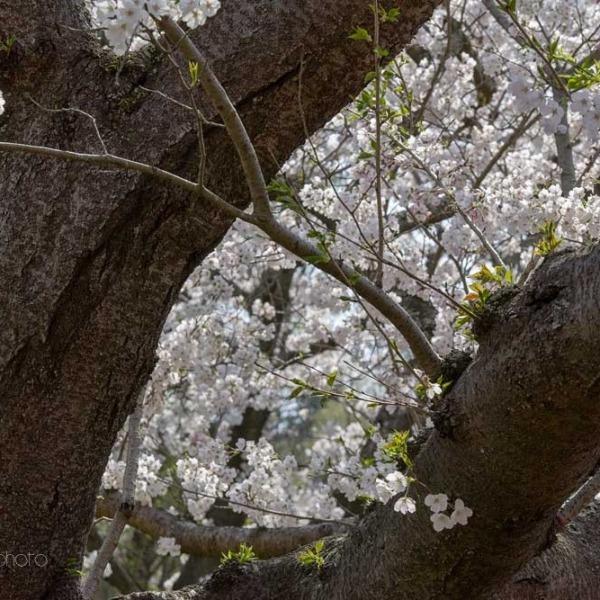 浜松フラワーパークの桜 26