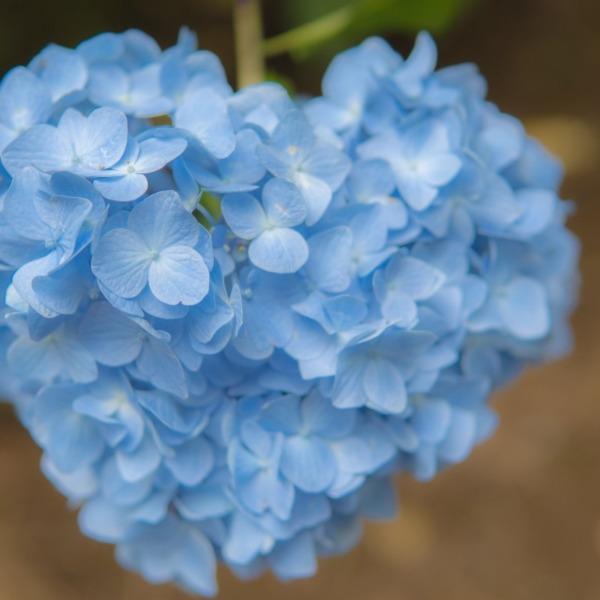 Blue heart hydrangea