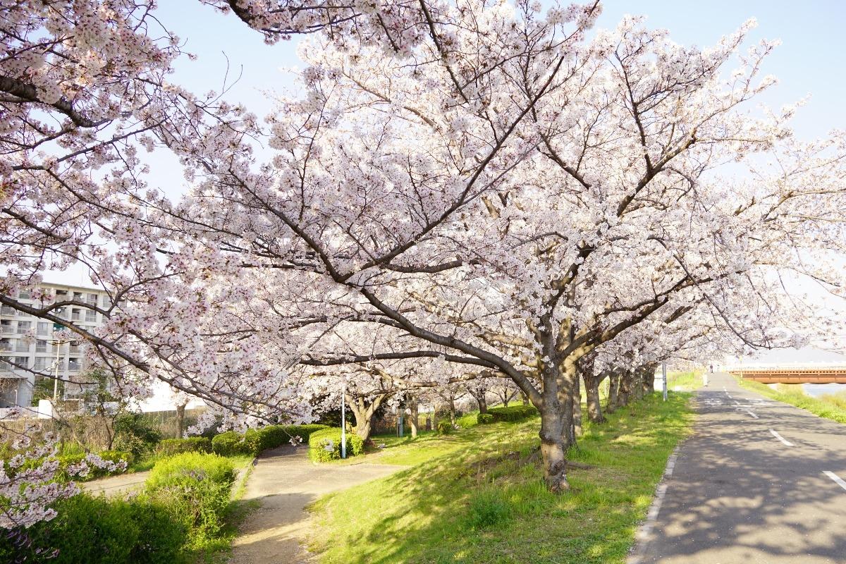 大和川の桜道