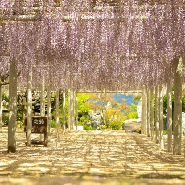 吉祥寺 藤の花