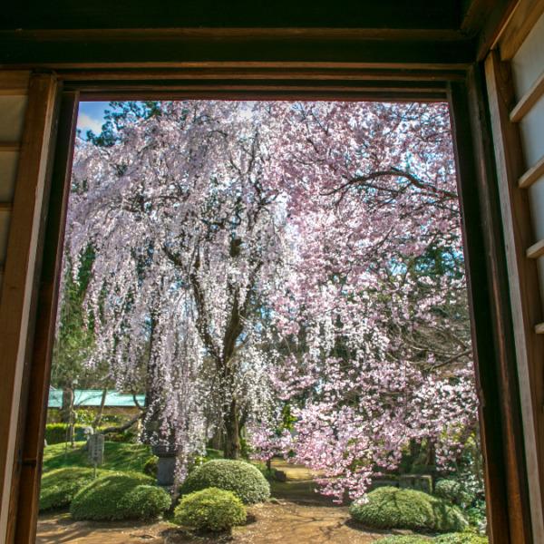 喜多院 紅葉山庭園の枝垂れ桜