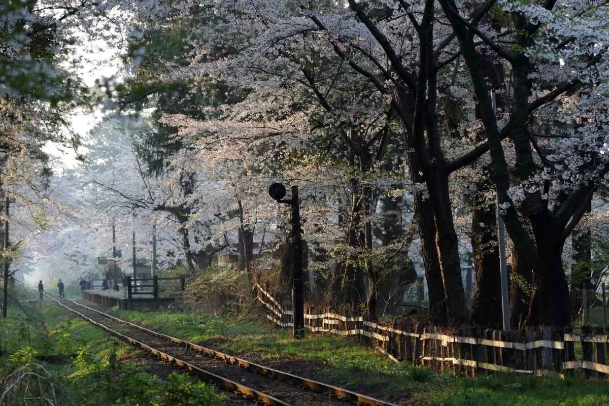 朝陽射し込む桜トンネル