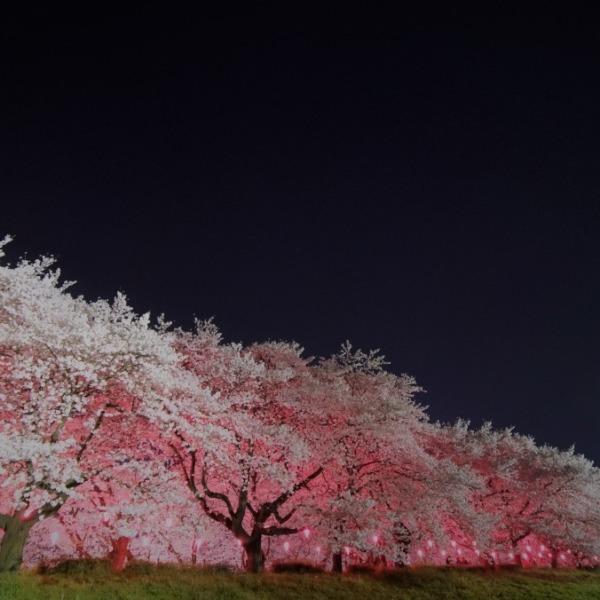 権現堂公園の桜:左側から✨