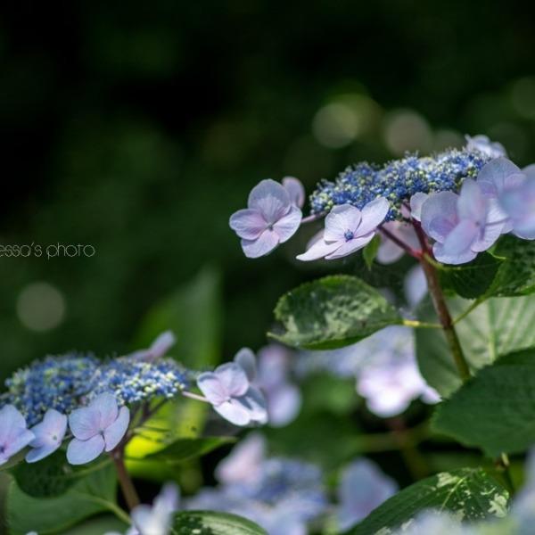 紫陽花街道☆浜松フラワーパーク