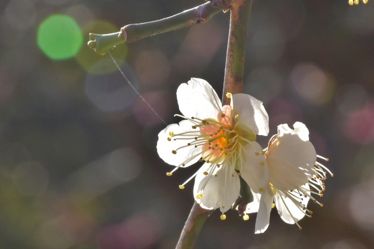 白梅の輝き