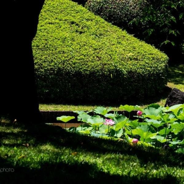 蓮の花☆浜松フラワーパーク