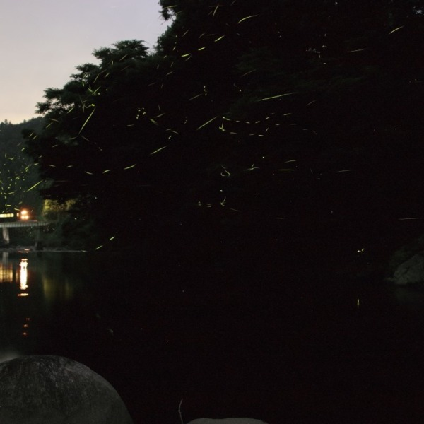 名松線とホタル 2020年6月25日