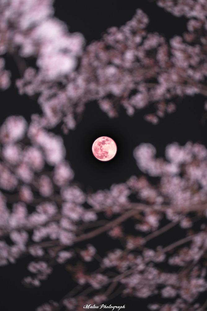 桜×スーパームーン