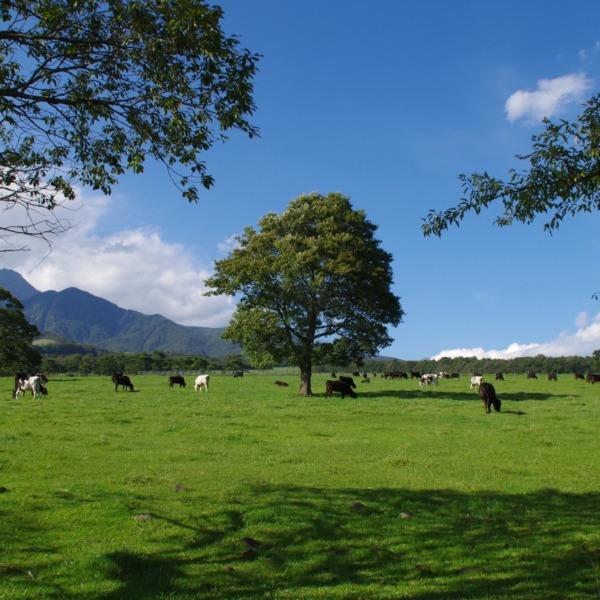「高原の放牧牛」