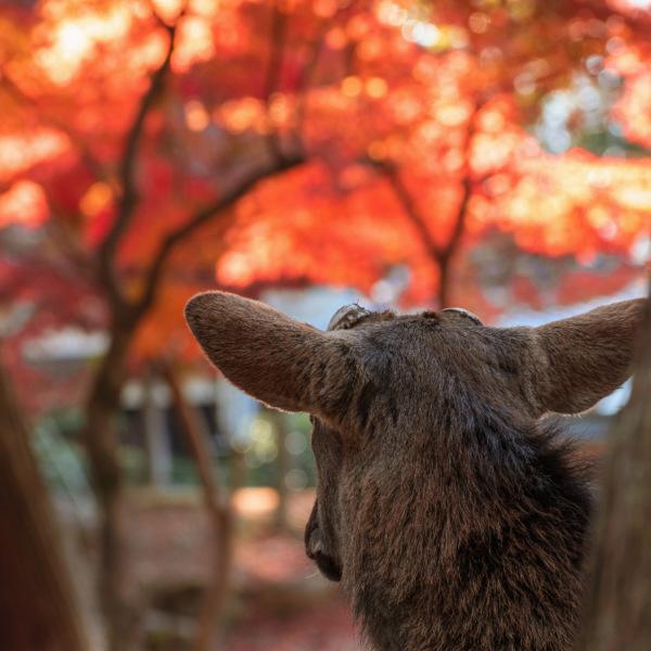 奥山に紅葉踏み分け鳴く鹿の 声聴く時ぞ秋は悲しき