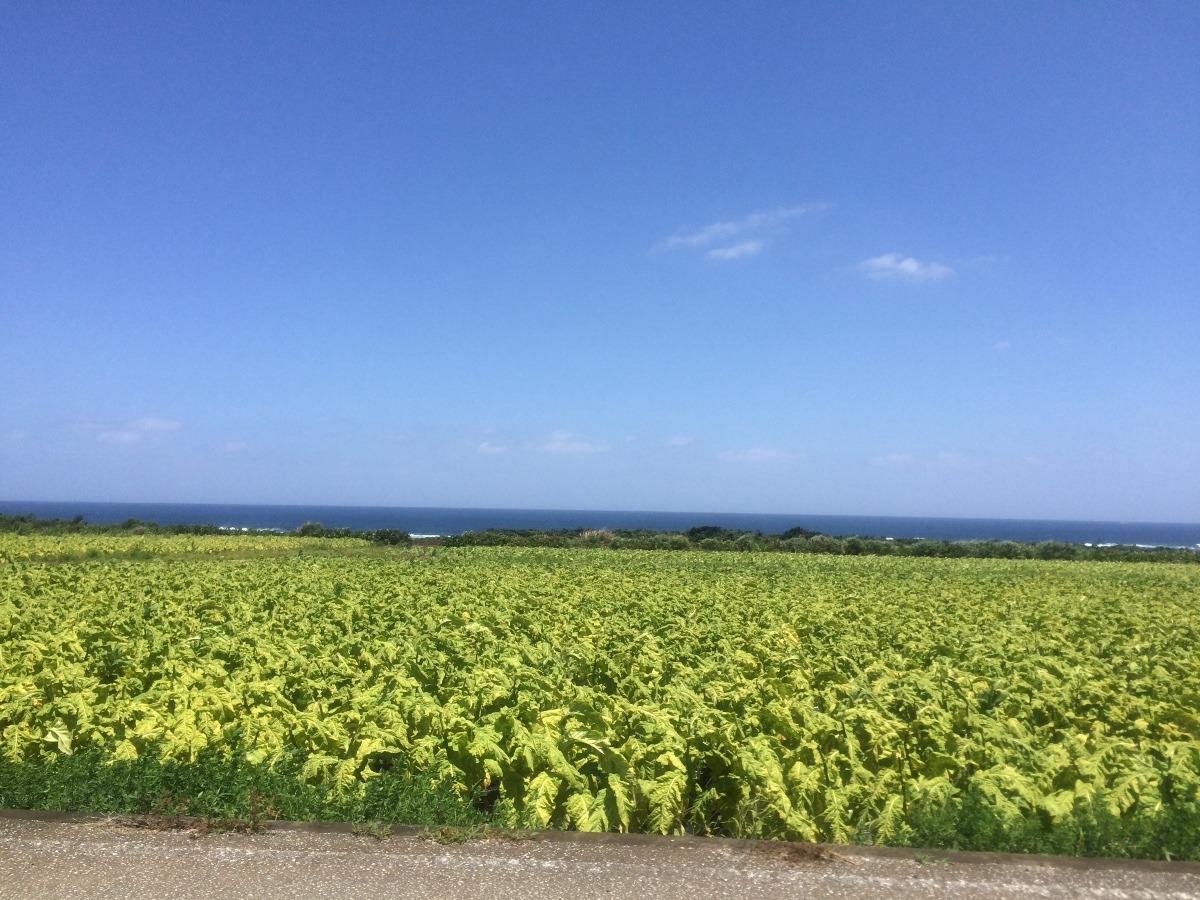 伊計島 たばこ畑