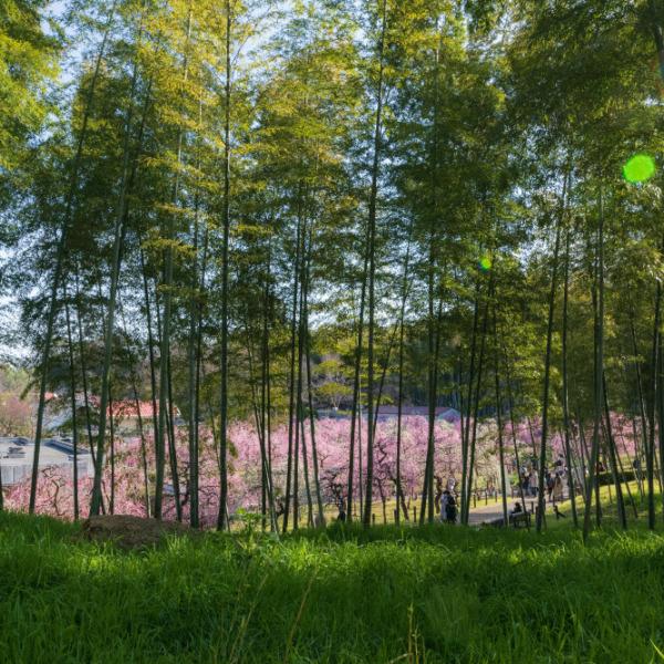 枝垂れ梅祭り