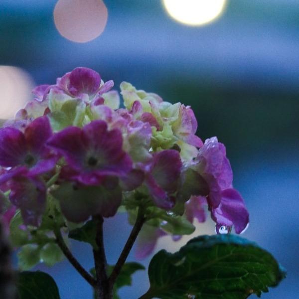 月見の森の紫陽花
