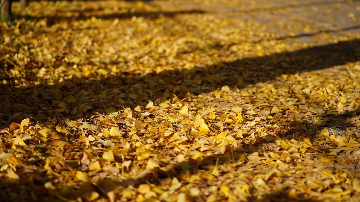 昭和記念公園:かたらいのイチョウ並木2020✨