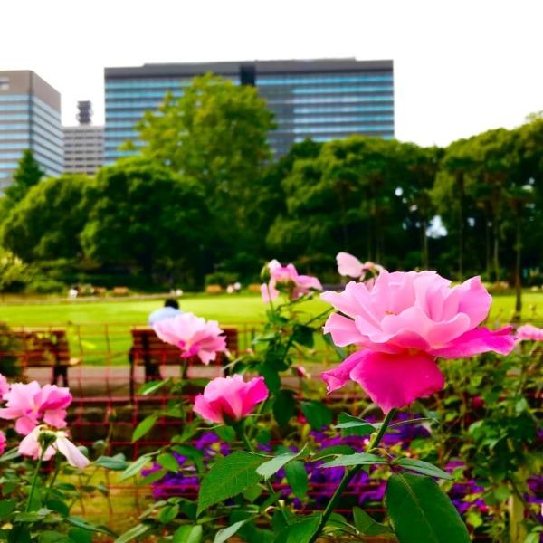 日比谷公園の薔薇花壇