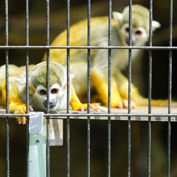コモンリスザル🐒:行船公園自然動物園🆒猛暑逃避