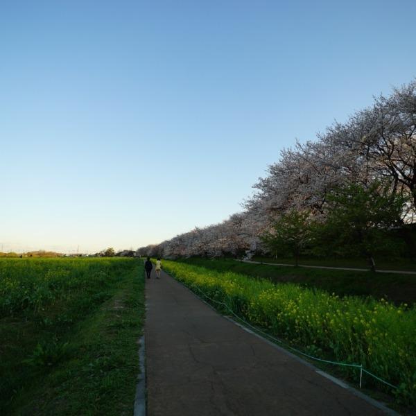 あなた♡と、ずーと歩いていたい:権現堂の春2020✨