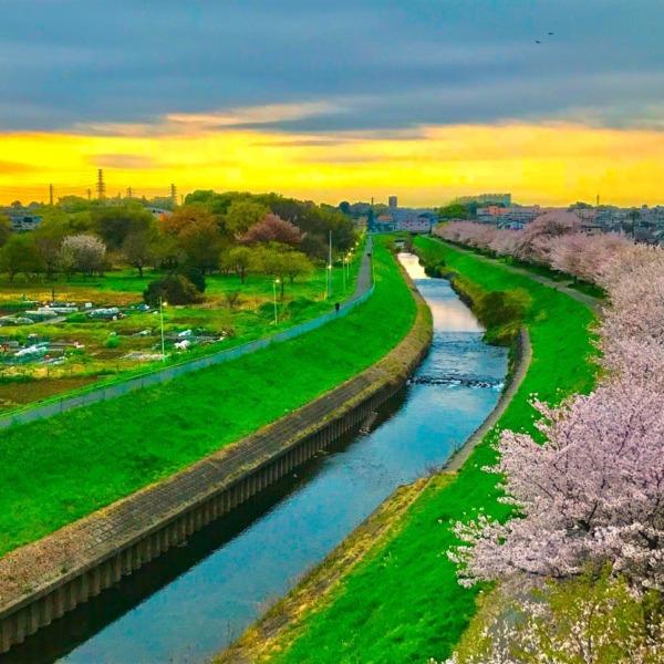 黒目川桜堤