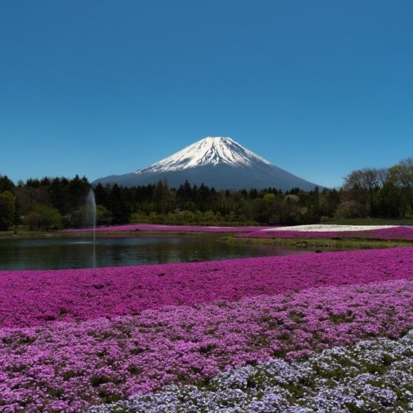 例年とは違う最初で最後の富士芝桜の光景