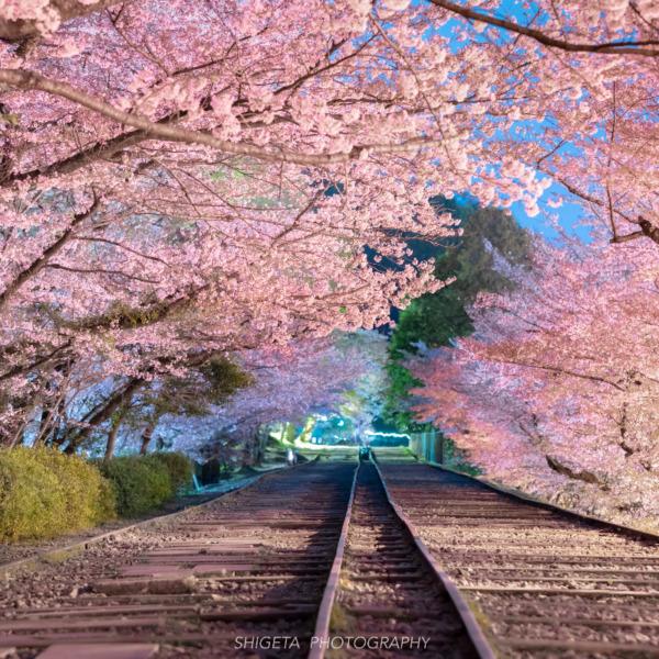 廃線跡の桜並木