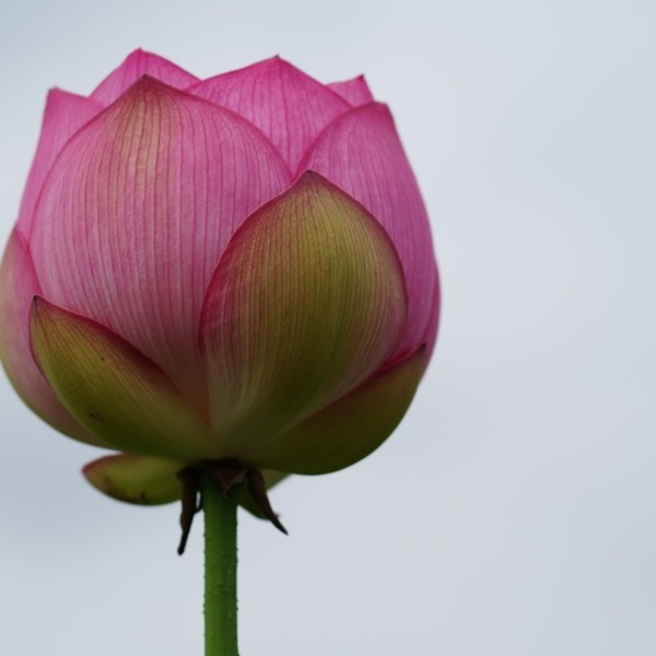 古代の里2019彩💖:ピンクの誘惑♡しまった✨