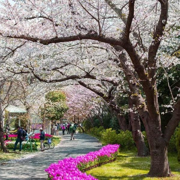 浜松フラワーパークの桜 5