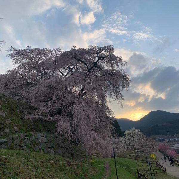 2021年又兵衛桜