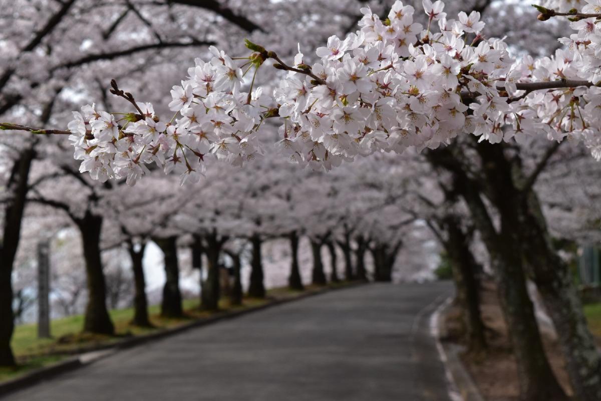 城山公園の桜トンネル