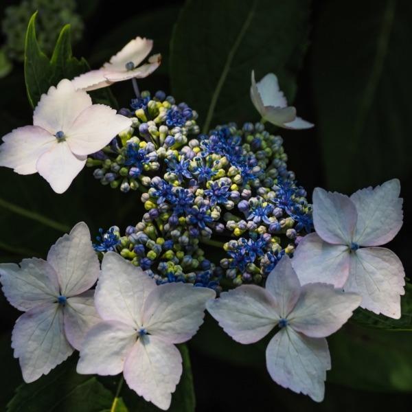 大聖寺の紫陽花